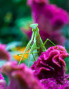 Preying Mantis Royalty Free Stock Photography - 33119097
