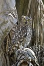 Spotted Eagle-Owl (Bufo Africanus) Royalty Free Stock Photos - 33126378