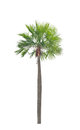 Wax Palm(Copernicia Alba)Palm Tree. Royalty Free Stock Image - 33139906