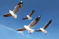 Seagulls Stock Photos - 33142743