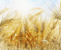 Rye Field On A Beautiful Sunny Sky Background Royalty Free Stock Photography - 33148887