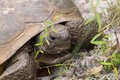 Gopher Tortoise Royalty Free Stock Photography - 33149007