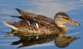 Duck Stock Images - 33149074