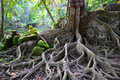Unusual Tree With Great Roots Royalty Free Stock Photography - 33154637