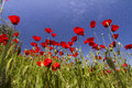 Red Poppy Flower Field Stock Photos - 33180003