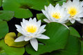 White Water Lily Royalty Free Stock Photography - 3320357
