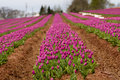 Rows Of Purple Tulips Stock Images - 33200474