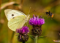 Large White / Pieris Brassicae Stock Photos - 33227703