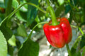 Red Bell Pepper Stock Image - 33236541