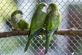 Green Parrots Stock Images - 33269384