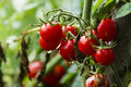 Cherry Tomatoes Royalty Free Stock Photography - 33286747