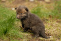 Red Fox Pup Stock Images - 33314174