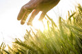 Hand Over Wheat Field Royalty Free Stock Images - 33325659