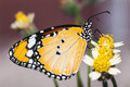 The Plain Tiger Butterfly Stock Photography - 33339732