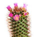 Pink Cactus Flower Royalty Free Stock Images - 33351499