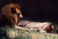 Lions Stock Photography - 33362002