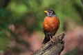 Robin Red Breast Stock Images - 33389544