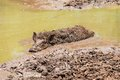Large Dirty Black Wild Pig Laying In The Mud Stock Photos - 33394483