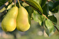 Two Pears Royalty Free Stock Photography - 33398387