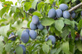 Plums Royalty Free Stock Images - 33410219