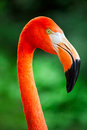 Flamingo Close Up Stock Photos - 33421073