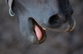 Horse Mouth Royalty Free Stock Images - 33422259