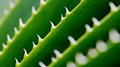 Spikes On Green Cactus Leaf Stock Photography - 33450602