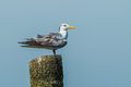 Close Up Of Great Crested Tern Royalty Free Stock Images - 33458499