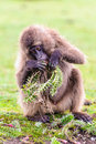 Portrait Of A Baboon Royalty Free Stock Photos - 33487478