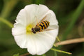 Bee In A White Flower Royalty Free Stock Photo - 33487575