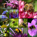 Bumblebee Bee Wasp Pollinating Flowers Set Collage Royalty Free Stock Image - 33490536