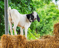 Goat In Farm Royalty Free Stock Images - 33498239