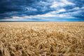 Dramatic Sky On Wheaten Field Royalty Free Stock Images - 33498459