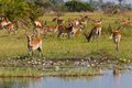 Impala In The Wild Royalty Free Stock Images - 33530819