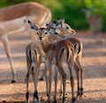 Impala In The Wild Royalty Free Stock Images - 33530889