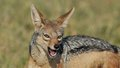 Jackal In The Wild Stock Image - 33531761