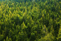 Pine Tree Forest Royalty Free Stock Images - 33556579