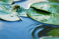 Water Lily Leaves Royalty Free Stock Photography - 33563827