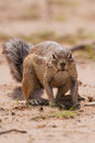 Ground Squirrel Eating Grass Roots In The Hot Kalahari Stock Image - 33580231