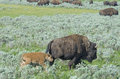 A Baby Bison Bounces Around A Field. Royalty Free Stock Photos - 33585098