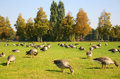 Gooses On To The Meadow Royalty Free Stock Photos - 3361558