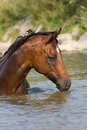 Brown Horse Standing In The Water Royalty Free Stock Photo - 33624045