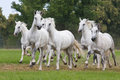 Herd Horses Running On Meadow Royalty Free Stock Photos - 33624358