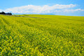 Rapeseed Field Stock Photo - 33632870