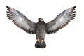 Close-up Pigeon Royalty Free Stock Image - 33640466