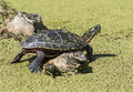 Midland Painted Turtle Royalty Free Stock Images - 33648039