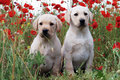 Labrador Retriever Puppy Stock Image - 33686751