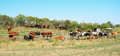 Cows In The Pasture Corral Stock Photos - 33688563