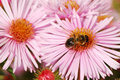 Bee On A Pink Flower Stock Image - 3372451