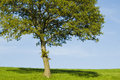 Single Young Oak Tree Royalty Free Stock Images - 3373159